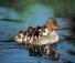 Kis kacsák anyjukon